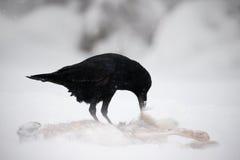 Korpsvart med harekadavret under snöstorm Stark vind med snö under vinter Korpsvart svart fågelsammanträde på snöträdet under Royaltyfria Bilder