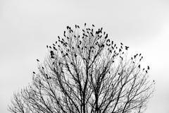 Korpsvart på trädet Fotografering för Bildbyråer