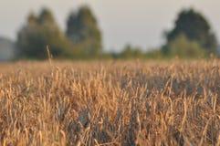 Korrel op de gebieden Rijpende oren Oogst en korrel in bloem landbouwbedrijven stock foto's