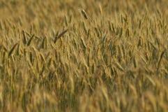Korrel op de gebieden Rijpende oren Oogst en korrel in bloem landbouwbedrijven stock afbeelding