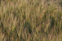 Korrel op de gebieden Rijpende oren Oogst en korrel in bloem landbouwbedrijven stock foto