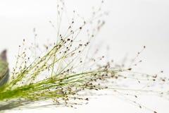 Korrel zoals bloem aan een witte achtergrond wordt gelegd die royalty-vrije stock afbeelding