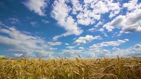 Korrelgebied, het groene korrel groeien op een landbouwbedrijfgebied stock video