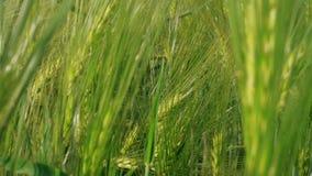 Korrelhoofd van het kweken van groene rogge op landbouwbedrijfgebied bij de lentedag stock footage