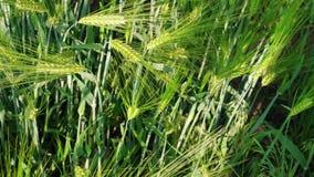 Korrelhoofd van het kweken van groene rogge op landbouwbedrijfgebied, hoogste mening, dag stock footage