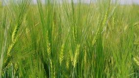 Korrelhoofden van het kweken van groene rogge op landbouwbedrijfgebied, landbouw stock video
