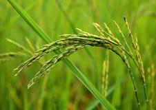 Korrels van rijst Royalty-vrije Stock Fotografie