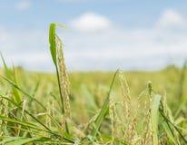 Korrels van rijst Macroshooting Royalty-vrije Stock Foto