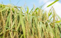 Korrels van rijst Macroshooting Stock Afbeelding