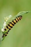 korsört för mal för caterpillarcinnabar matande Royaltyfria Bilder