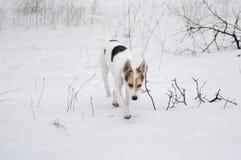 Kors-avel av jakt och nordlig hund som söker för doft av det lösa djuret Arkivbilder