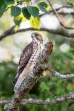 Kors-shinned hök som sätta sig på en trädfilial royaltyfri bild