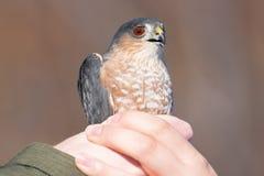 Kors-shinned vuxen hökstående, medan rymmas, når att ha fått mist förtjänad - släppt efter tagna data - på Hawk Ridge Bird Obse fotografering för bildbyråer