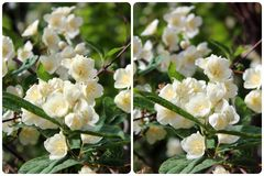 Kors-sikt stereo- fotografi av blomningjasmin foto 3D Royaltyfria Bilder