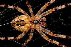 Kors-spindel Royaltyfri Bild