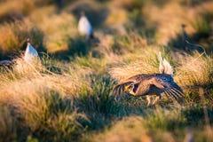 Kors-Tailed skogshönsLek Fotografering för Bildbyråer