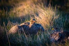 Kors-Tailed skogshönsLek Royaltyfri Foto