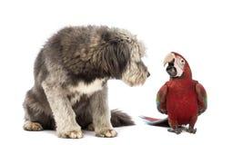 Korsa, 4 gammala år, sammanträde och att se enpåskyndad Macaw, Arachloropterus, årig 1 royaltyfria bilder