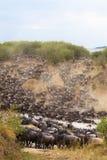 Korsa till andra sidan av den Mara floden mara masai Royaltyfri Fotografi