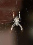 Korsad spindel på rengöringsduk Arkivbild