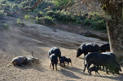 Korsikanska svin på berglutningen Royaltyfri Bild