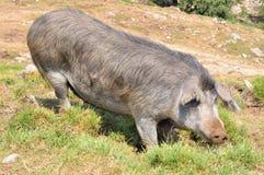 Korsikanskt svin Royaltyfria Bilder