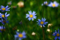 Korsische Blumennahaufnahme stockfoto