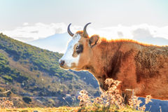 Korsische Kuh an Col. de San Colombano Stockfotografie