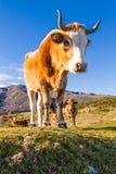 Korsische Kuh an Col. de San Colombano Stockbilder