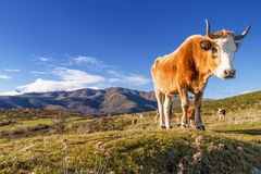 Korsische Kuh an Col. de San Colombano Stockfotos