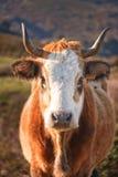 Korsische Kuh an Col. de San Colombano Lizenzfreie Stockbilder