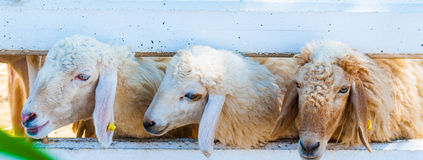 Korsische Ziege Stockbild