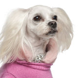 Korsninghund, 6 gammala år Royaltyfria Bilder