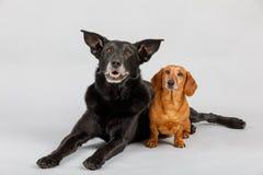 Korsninghund och tax, bästa vän Royaltyfri Fotografi