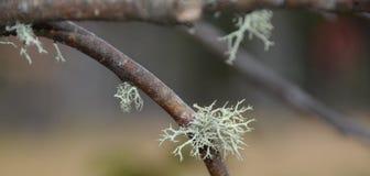 Korstmos het groeien op boomtak in Adirondack-Bergen Royalty-vrije Stock Foto's