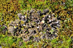 Korstmos in het mos Stock Foto