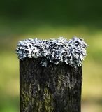 Korstmos op de bovenkant van houten omheining Stock Foto