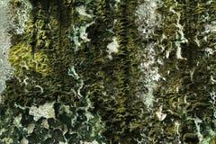 Korstmos op de oude muur Royalty-vrije Stock Fotografie