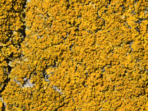 Korstmos (parietina Xanthoria) Stock Afbeeldingen