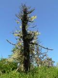 Korstmossen op een boom op Shikotan, Rusland stock fotografie