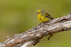 Korsykański Finch - Serinus corsicanus fotografia royalty free