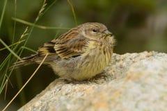 Korsykański Finch - Serinus corsicanus zdjęcie stock