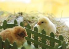 Kort av gamla fågelungar för gullig dag på hö Arkivfoto