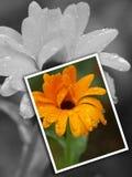 kort för blommaillustrationfoto Royaltyfria Bilder