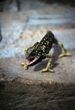 Kort-Fingered gekko Stock Afbeelding