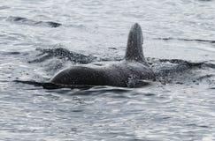 Kort Finned pilot Whale royaltyfri fotografi