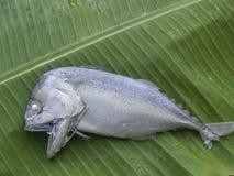 kort-gebouwde makreel op Banaanblad Stock Afbeelding