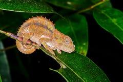 Kort-gehoornd kameleon, andasibe Stock Afbeeldingen