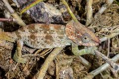Kort-gehoornd kameleon, marozevo Stock Afbeeldingen