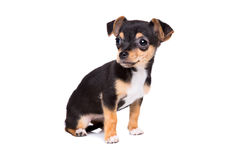 Kort haired chihuahuapuppy Stock Afbeeldingen